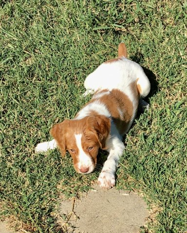Adopt AKC Brittany Spaniel Puppies